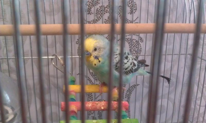 Помогите, пожалуйста, у попугая рвота и плохой помет - IMAG0005.jpg