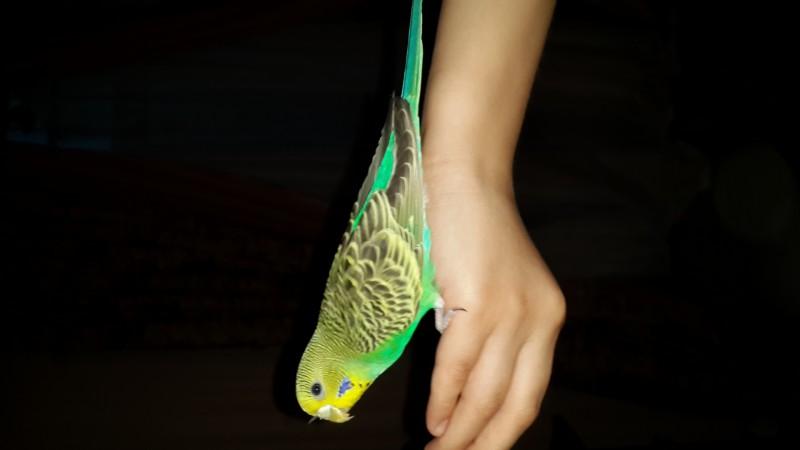 Продаются самки волнистых попугаев, птенцы - 20150530_210451.jpg