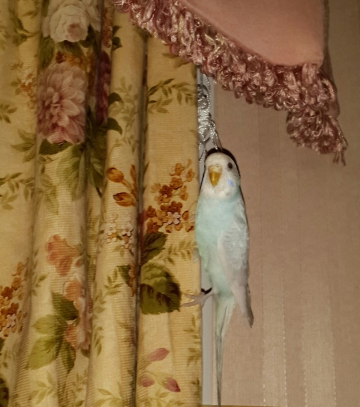 Продаются самки волнистых попугаев, птенцы - 20150530_210933-1.jpg