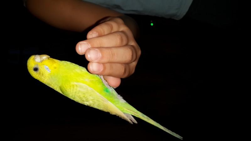 Продаются самки волнистых попугаев, птенцы - 20150530_210220.jpg