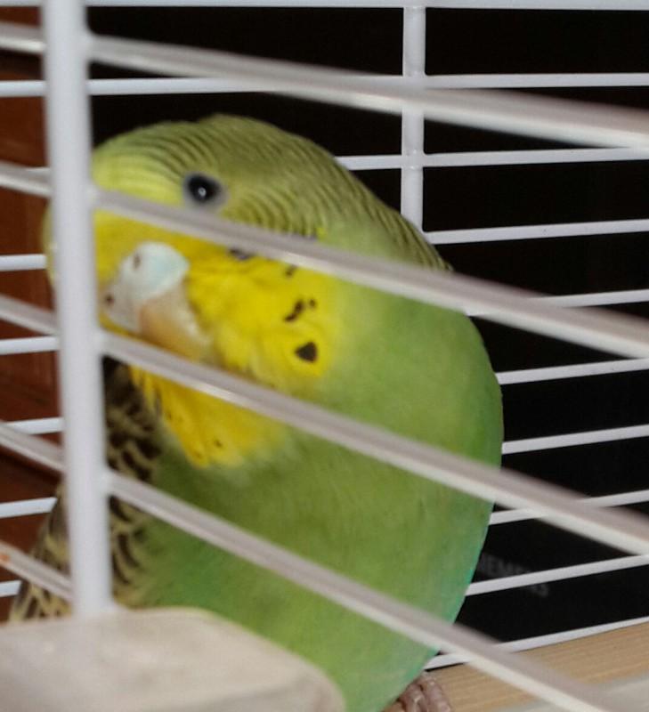 Продаются самки волнистых попугаев, птенцы - 20150506_133547-1.jpg