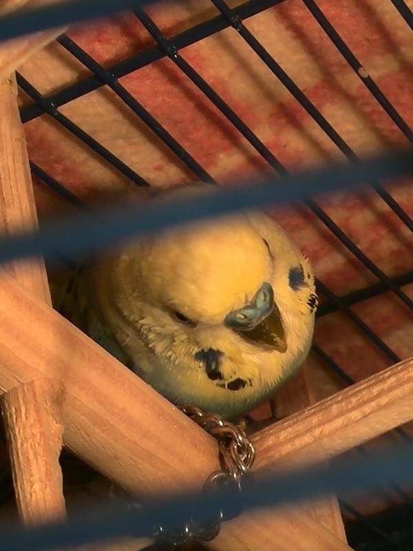 попугайчик тяжело дышит - IMG_20150603_211054.jpg