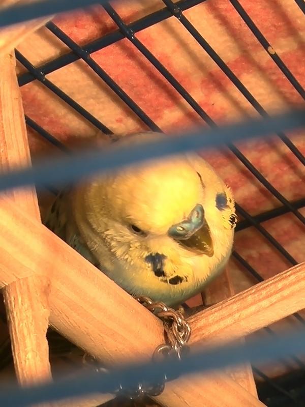 попугайчик тяжело дышит - IMG_20150603_211051.jpg