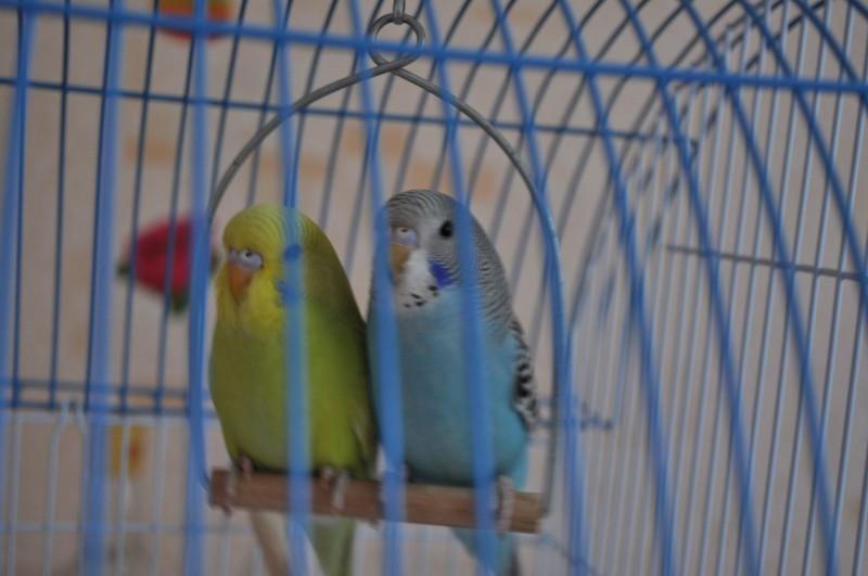 Птенчики подрастают и готовы к знакомству с новыми хозяевами (35-40 дней) - DSC_0938.JPG