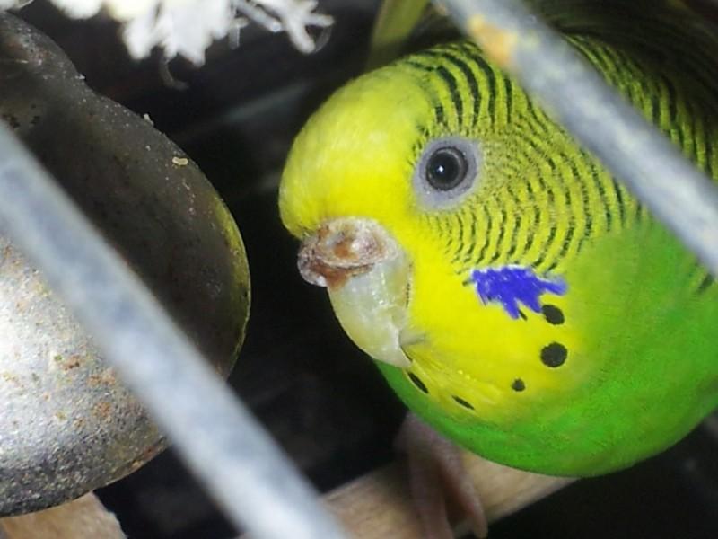 Помогите определить здоров ли попугай? - IMG_20150613_150044.jpg