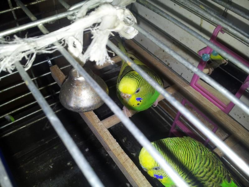 Помогите определить здоров ли попугай? - IMG_20150613_150050.jpg