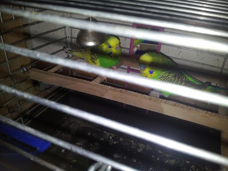 Помогите определить здоров ли попугай? - IMG_20150613_150059.jpg
