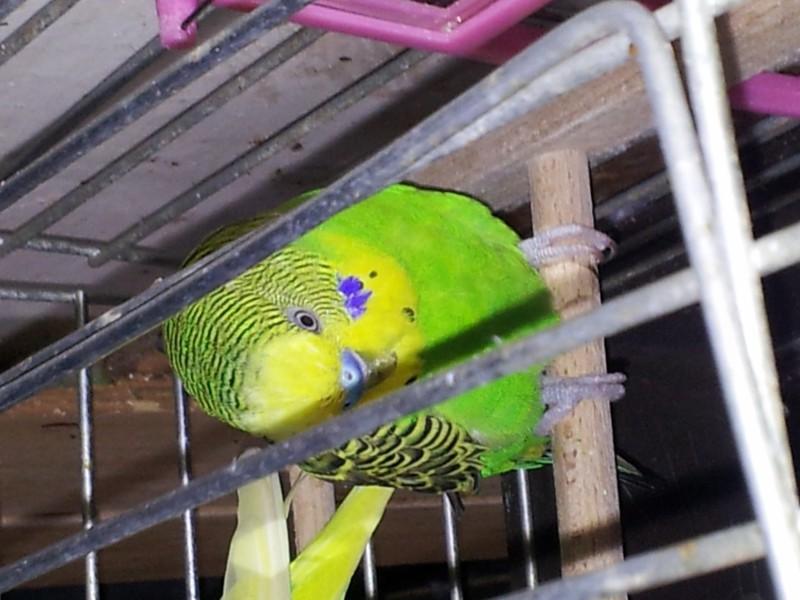 Помогите определить здоров ли попугай? - IMG_20150615_174313.jpg