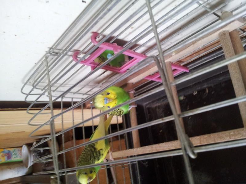 Помогите определить здоров ли попугай? - IMG_20150615_174325.jpg