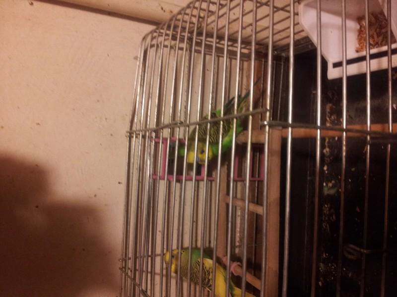 Помогите определить здоров ли попугай? - IMG_20150616_220720.jpg