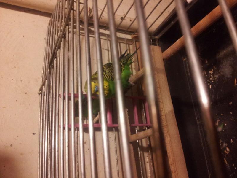 Помогите определить здоров ли попугай? - IMG_20150616_220731.jpg