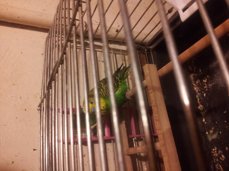 Помогите определить здоров ли попугай? - IMG_20150616_220735.jpg