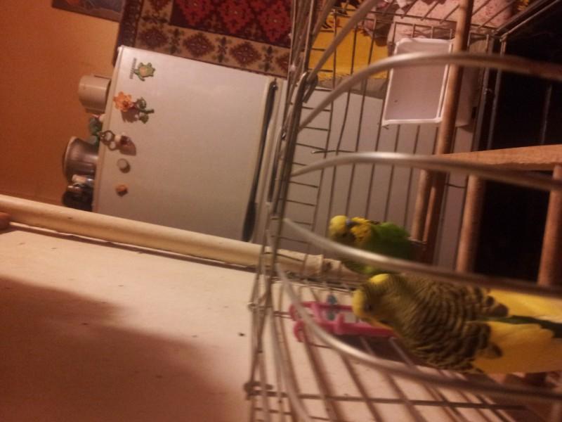 Помогите определить здоров ли попугай? - IMG_20150616_220741.jpg