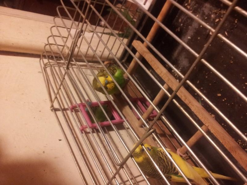Помогите определить здоров ли попугай? - IMG_20150616_220749.jpg