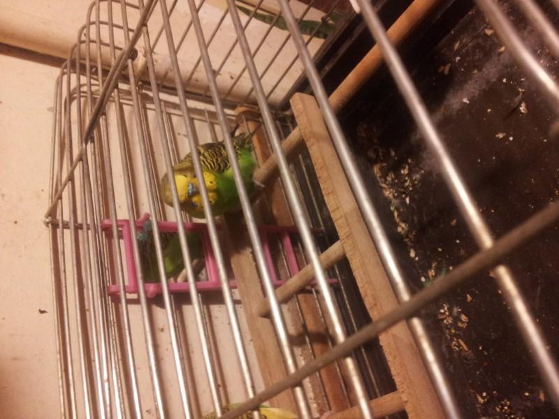 Помогите определить здоров ли попугай? - IMG_20150616_220801.jpg
