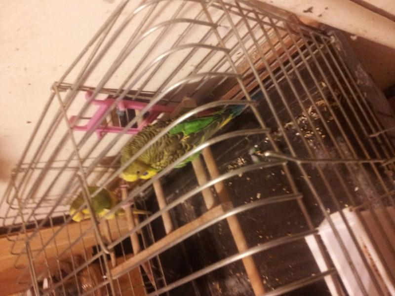 Помогите определить здоров ли попугай? - IMG_20150616_220811.jpg