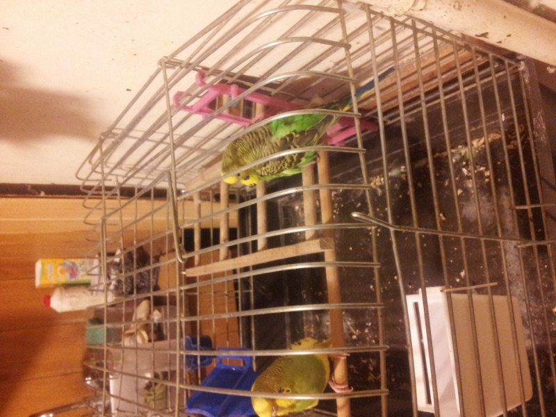 Помогите определить здоров ли попугай? - IMG_20150616_230024.jpg