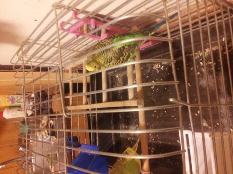 Помогите определить здоров ли попугай? - IMG_20150616_230029.jpg