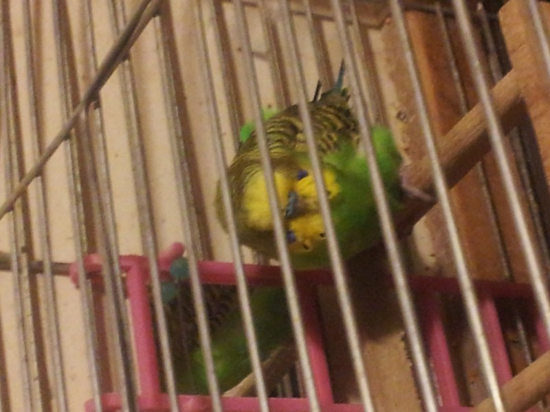 Помогите определить здоров ли попугай? - IMG_20150616_230044.jpg