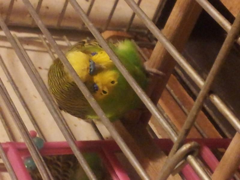 Помогите определить здоров ли попугай? - IMG_20150616_230052.jpg