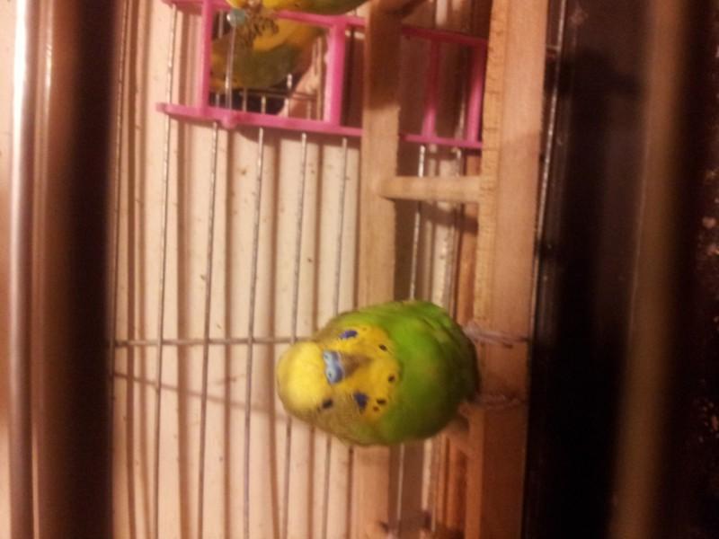 Помогите определить здоров ли попугай? - IMG_20150616_230139.jpg