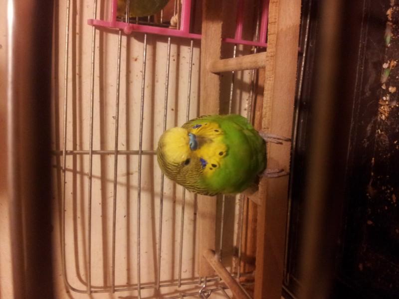 Помогите определить здоров ли попугай? - IMG_20150616_230144.jpg