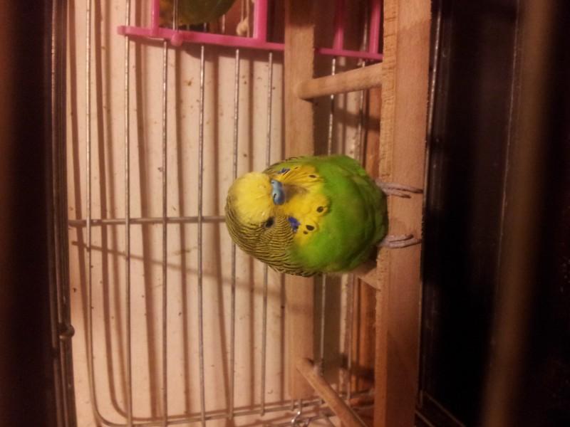 Помогите определить здоров ли попугай? - IMG_20150616_230151.jpg