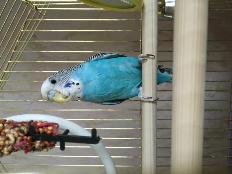 Помогите определить здоров ли попугай? - image.jpg