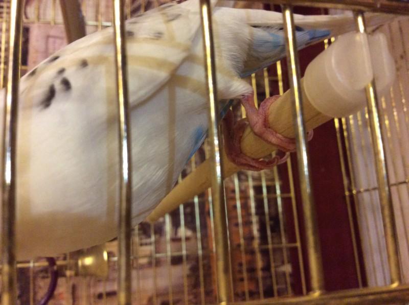 Попугай, не переставая пищит, и тяжело дышит. - image.jpg