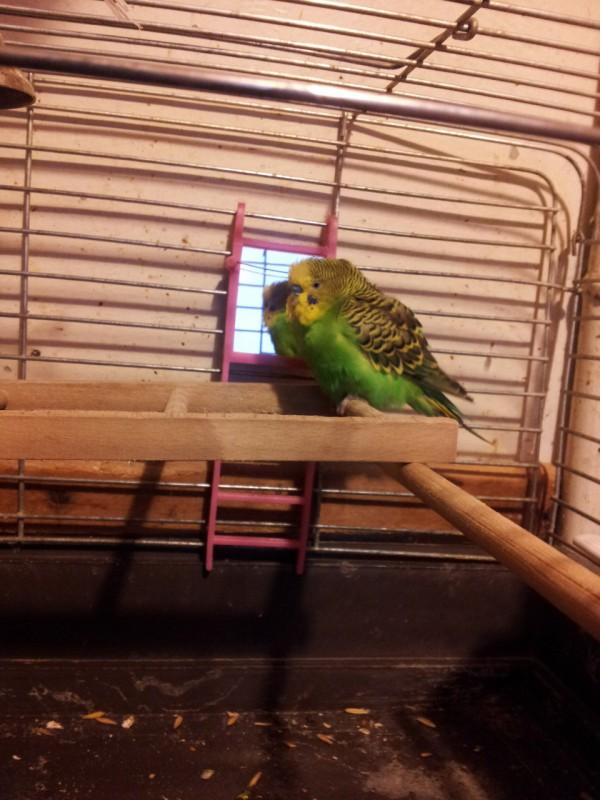 Помогите определить здоров ли попугай? - IMG_20150619_204935.jpg