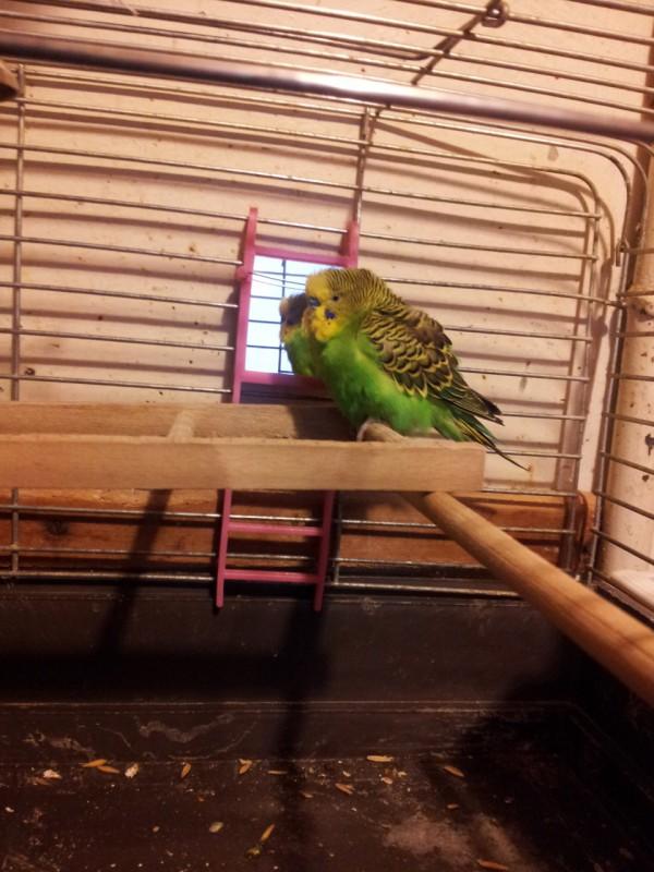 Помогите определить здоров ли попугай? - IMG_20150619_204939.jpg