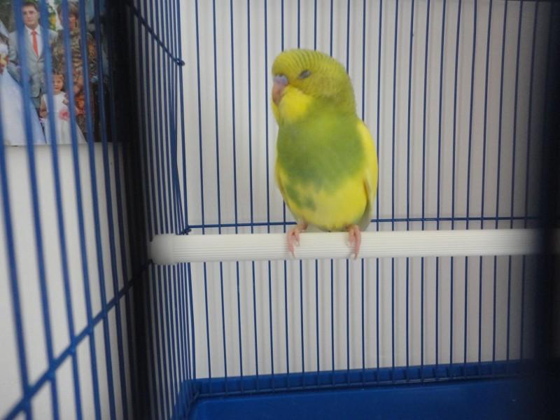 Помогите определить здоров ли попугай? - DSC00434.JPG
