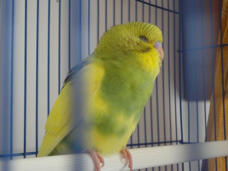 Помогите определить здоров ли попугай? - DSC00440.JPG