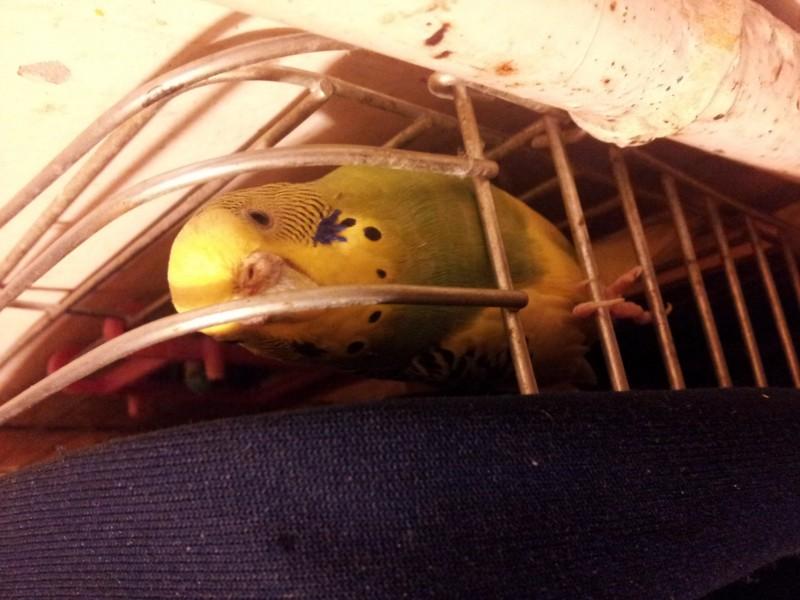 Помогите определить здоров ли попугай? - IMG_20150701_001539.jpg