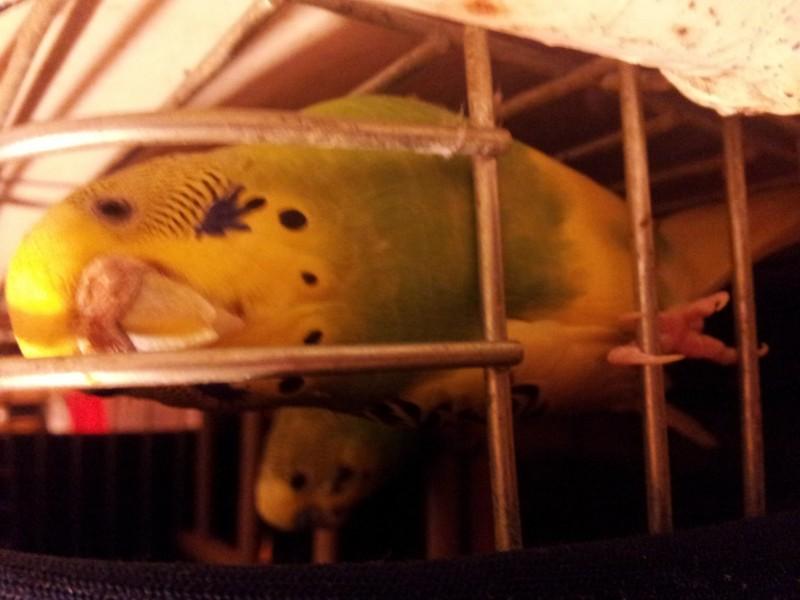 Помогите определить здоров ли попугай? - IMG_20150701_001545.jpg