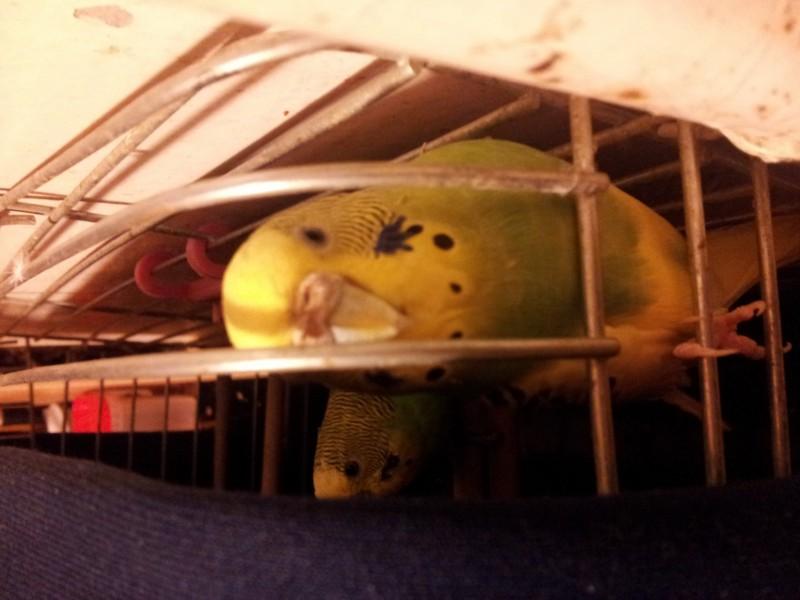 Помогите определить здоров ли попугай? - IMG_20150701_001550.jpg
