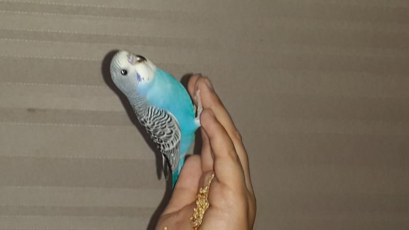Продаются самки волнистых попугаев, птенцы - 20150629_112021.jpg