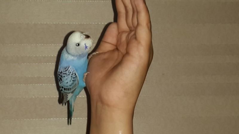 Продаются самки волнистых попугаев, птенцы - 20150629_111856.jpg