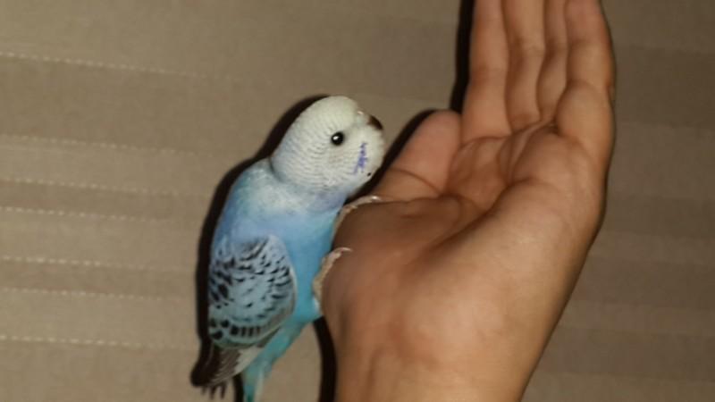 Продаются самки волнистых попугаев, птенцы - 20150629_111848.jpg