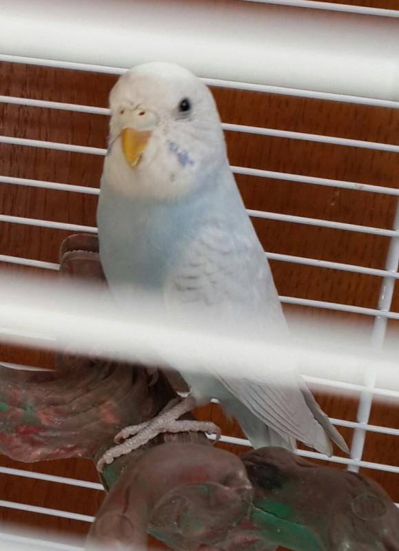 Продаются самки волнистых попугаев, птенцы - 20150506_133311-1.jpg