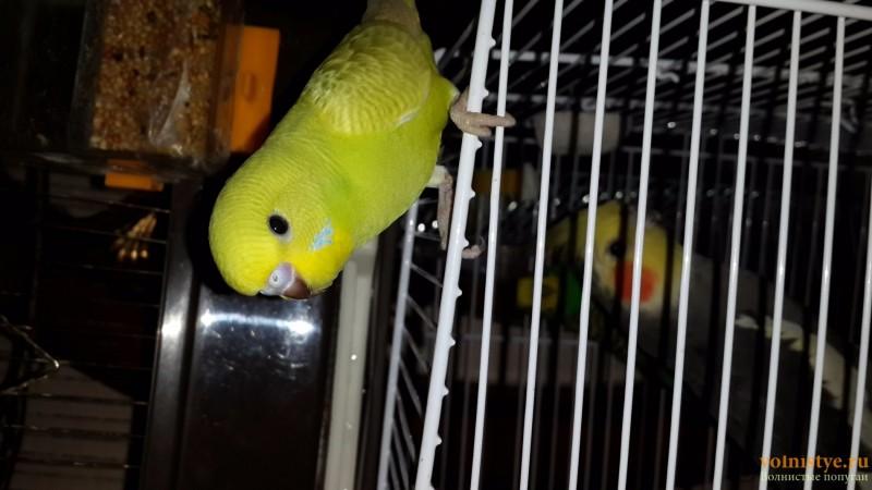Продаются самки волнистых попугаев, птенцы - 20150706_162625.jpg