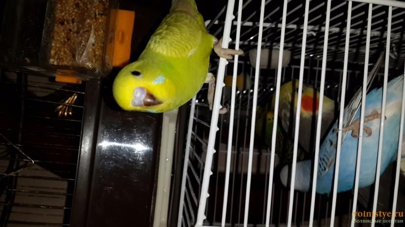 Продаются самки волнистых попугаев, птенцы - 20150706_162622.jpg