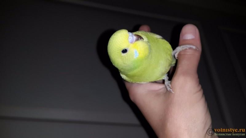 Продаются самки волнистых попугаев, птенцы - 20150706_162415.jpg