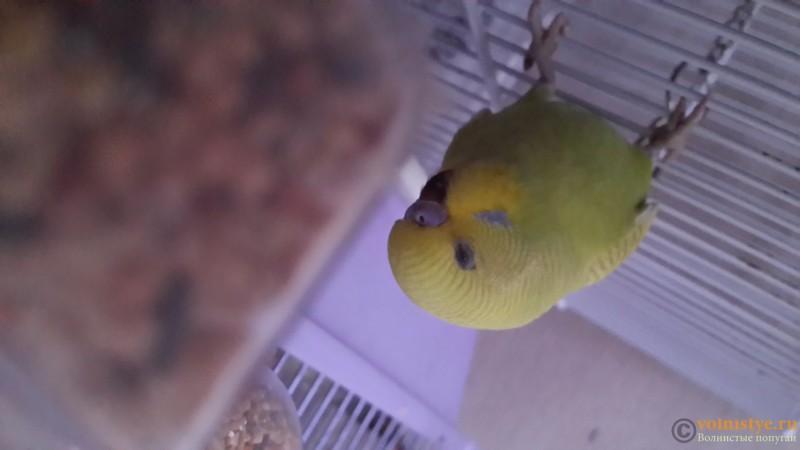 Продаются самки волнистых попугаев, птенцы - 20150706_163344.jpg