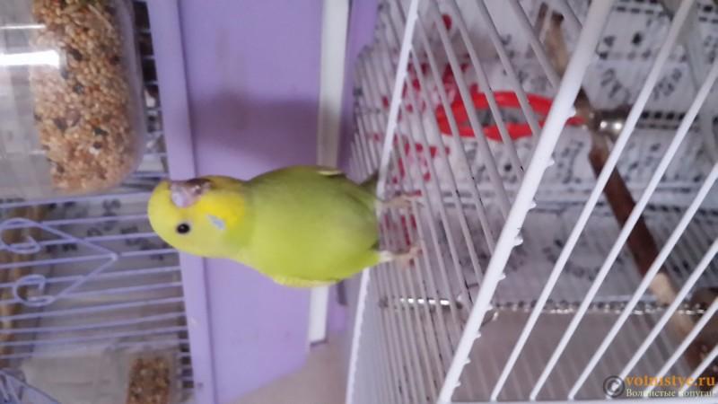 Продаются самки волнистых попугаев, птенцы - 20150706_163242.jpg