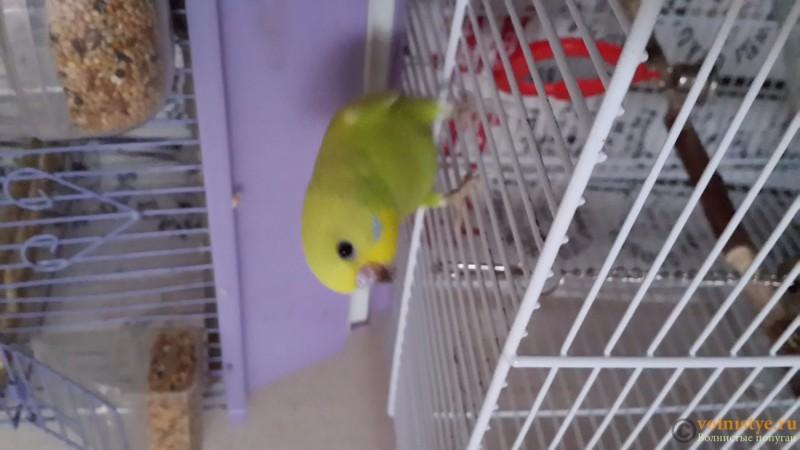 Продаются самки волнистых попугаев, птенцы - 20150706_163236.jpg