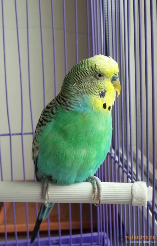 Помогите определить здоров ли попугай? - 2015-07-19 12.32.29.jpg