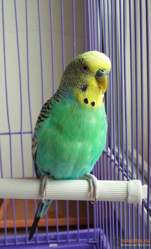 Помогите определить здоров ли попугай? - 2015-07-19 12.33.10.jpg