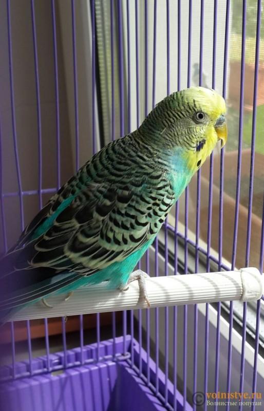 Помогите определить здоров ли попугай? - 2015-07-19 12.34.34.jpg