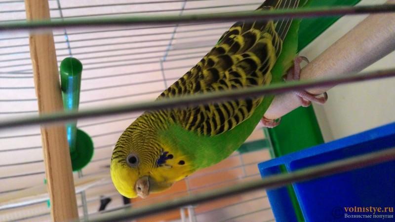 Помогите определить здоров ли попугай? - P_20150728_195104.jpg